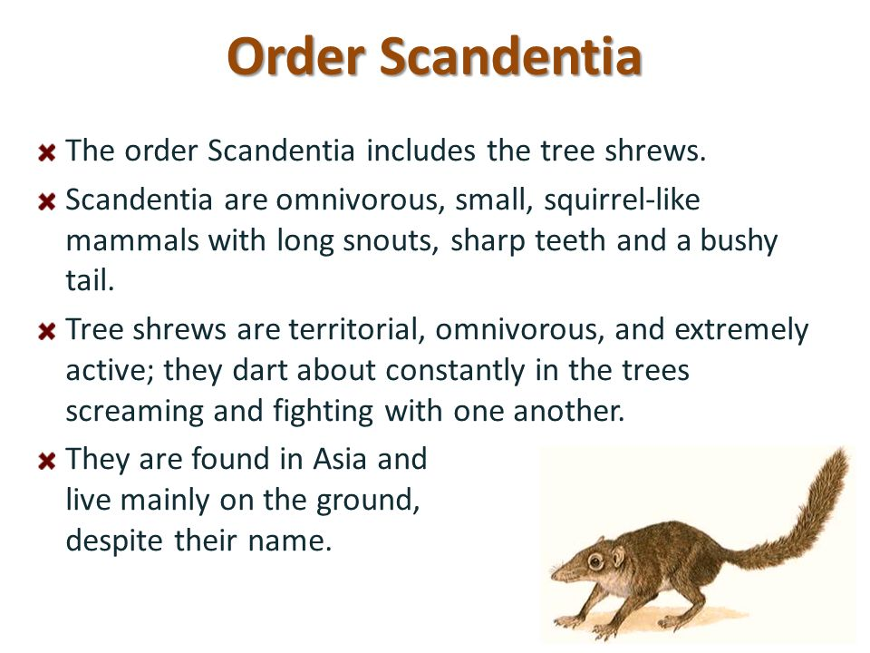 Order Scandentia The order Scandentia includes the tree shrews. Scandentia are omnivorous, small, squirrel-like mammals with long snouts, sharp teeth