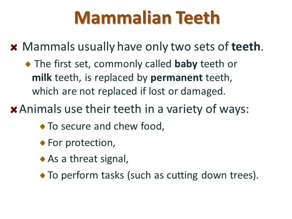 Mammalian Teeth Mammals usually have only two sets of teeth. The first set, commonly called baby teeth or milk teeth, is replaced by permanent teeth,