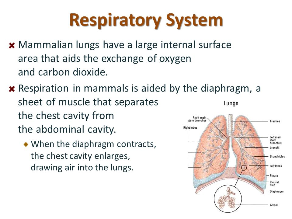 Respiratory System Mammalian lungs have a large internal surface area that aids the exchange of oxygen and carbon dioxide. Respiration in mammals is a