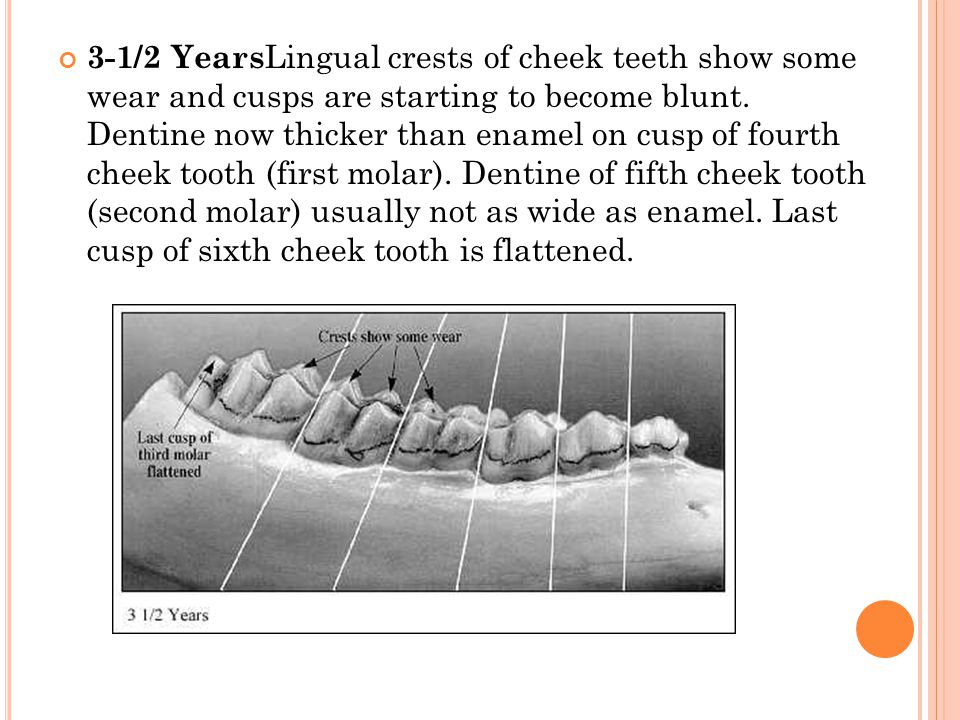 3-1/2 Years Lingual crests of cheek teeth show some wear and cusps are starting to become blunt.