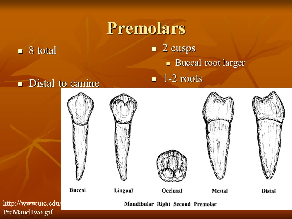 Premolars 8 total 8 total Distal to canine Distal to canine 2 cusps 2 cusps Buccal root larger 1-2 roots 1-2 roots http://www.uic.edu/classes/orla/orl