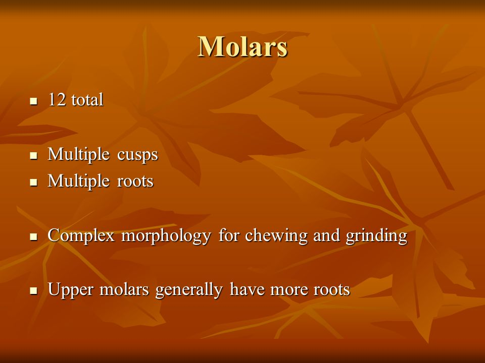 Molars 12 total 12 total Multiple cusps Multiple cusps Multiple roots Multiple roots Complex morphology for chewing and grinding Complex morphology fo