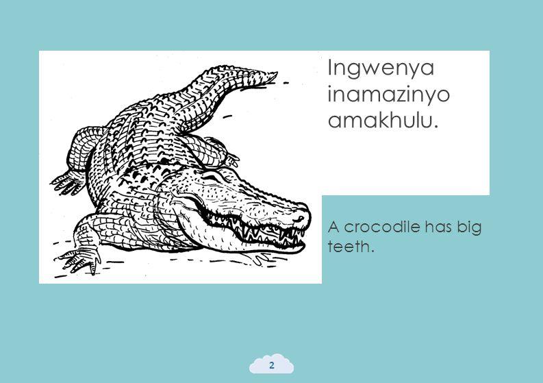 Ingwenya inamazinyo amakhulu. 2 A crocodile has big teeth.