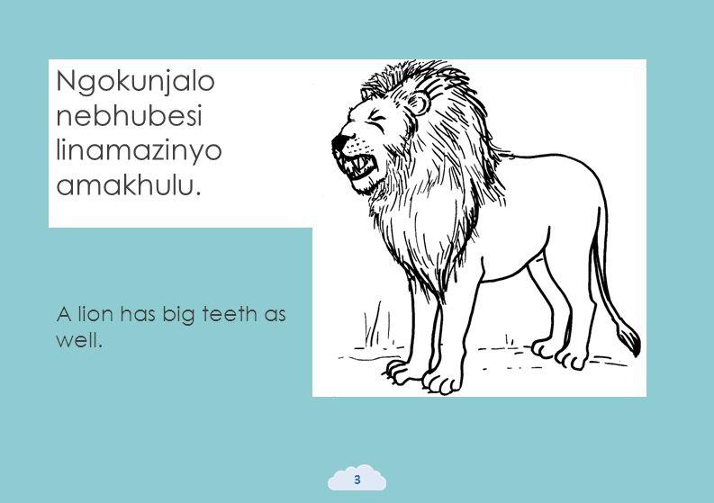 Ngokunjalo nebhubesi linamazinyo amakhulu. 3 A lion has big teeth as well.