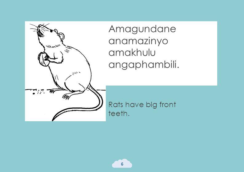 Rats have big front teeth. 6 Amagundane anamazinyo amakhulu angaphambili.
