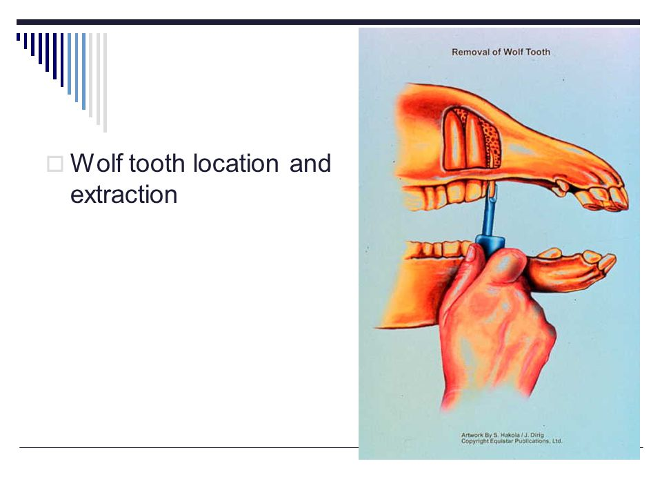 Wolf tooth location and extraction