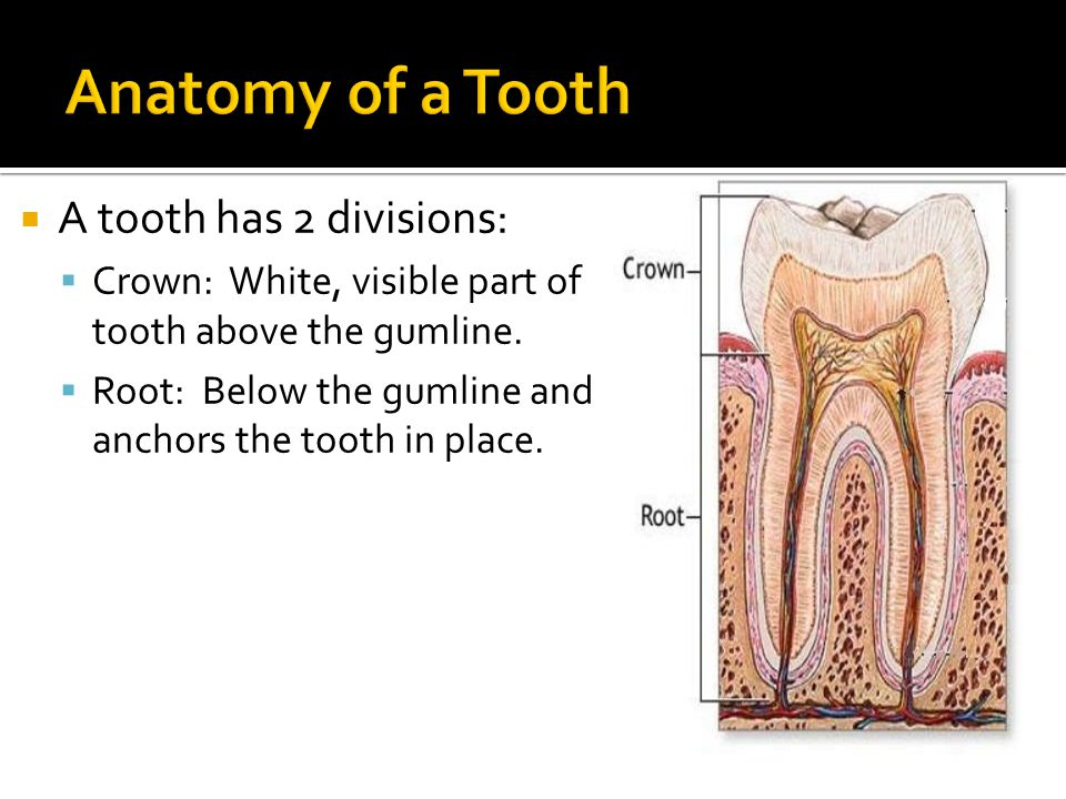 A tooth has 2 divisions: Crown: White, visible part of tooth above the gumline.