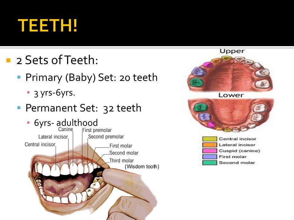 2 Sets of Teeth: Primary (Baby) Set: 20 teeth 3 yrs-6yrs. Permanent Set: 32 teeth 6yrs- adulthood