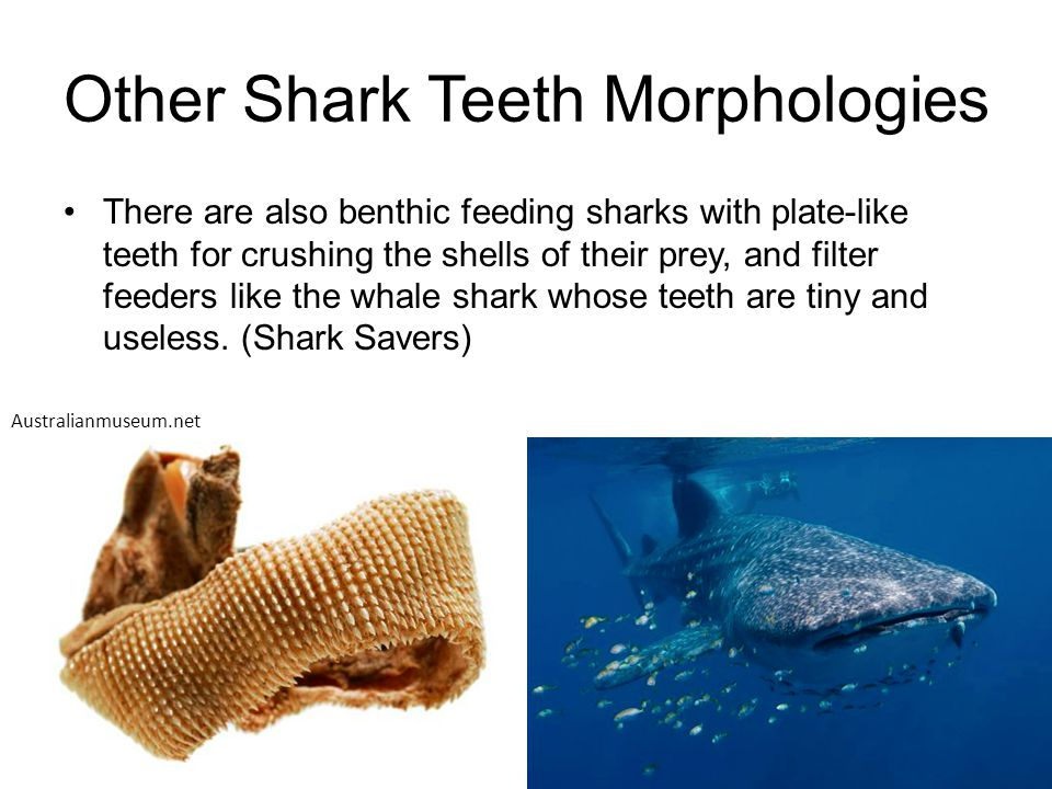 Other Shark Teeth Morphologies There are also benthic feeding sharks with plate-like teeth for crushing the shells of their prey, and filter feeders l
