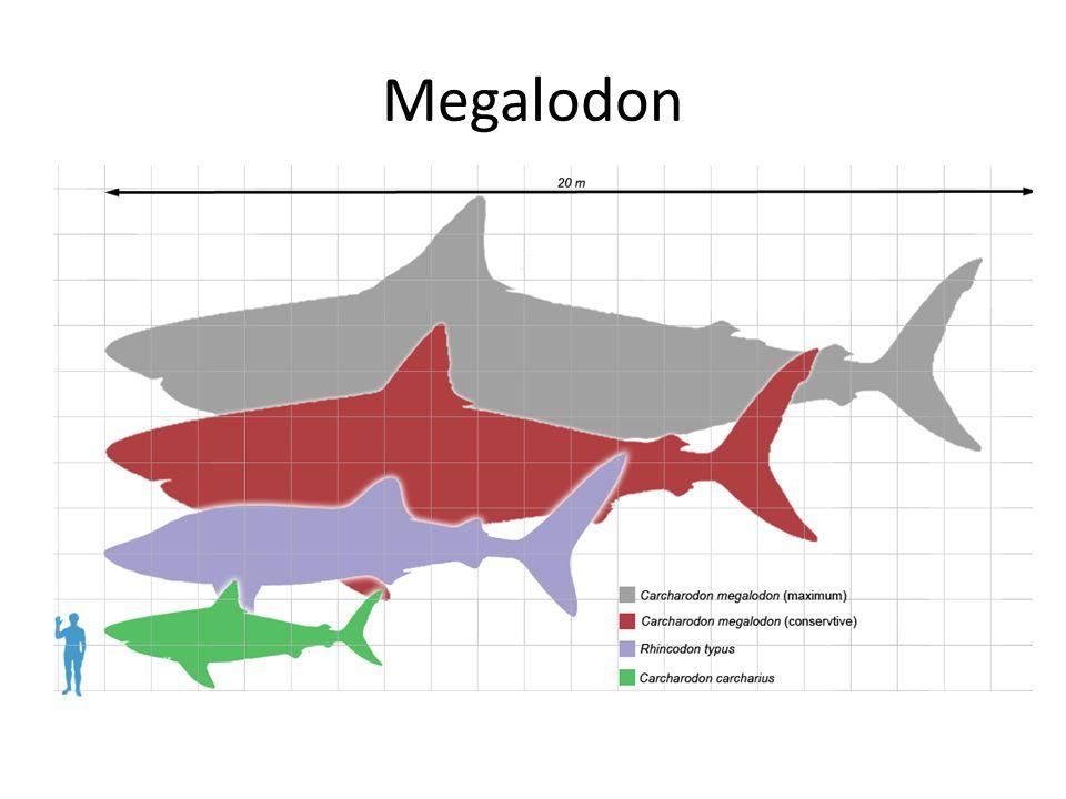 Megalodon