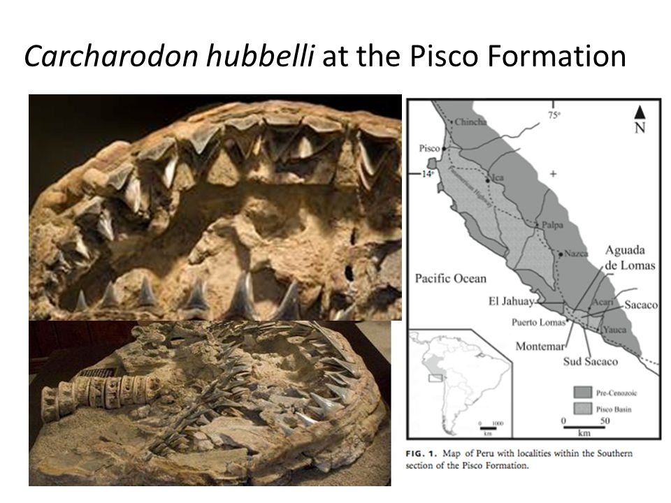 Carcharodon hubbelli at the Pisco Formation