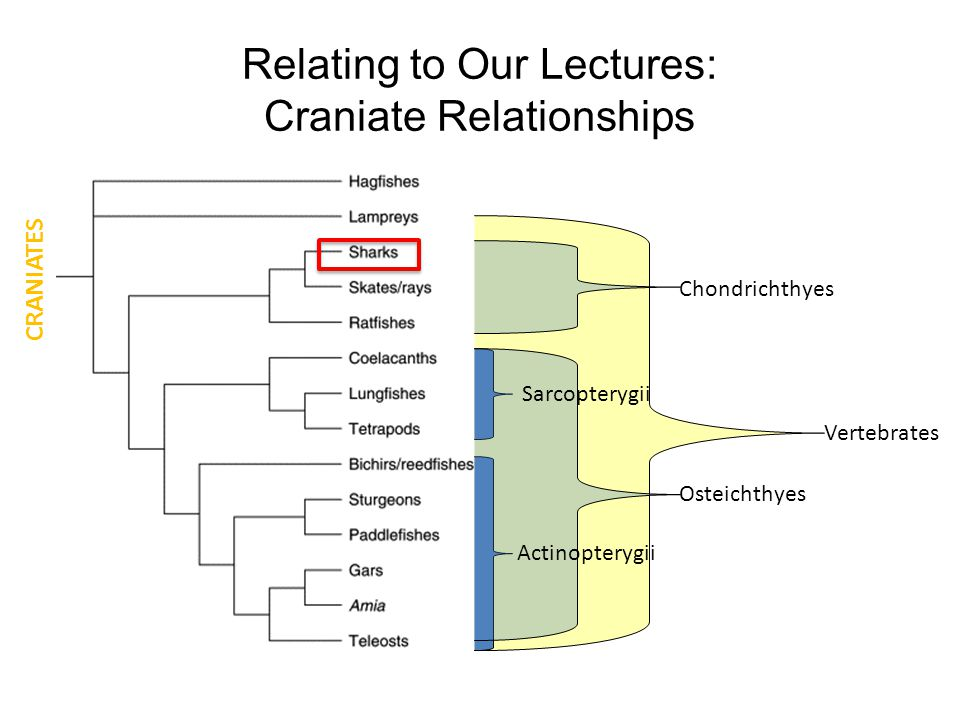Relating to Our Lectures: Craniate Relationships Chondrichthyes Osteichthyes Sarcopterygii Actinopterygii Vertebrates CRANIATES