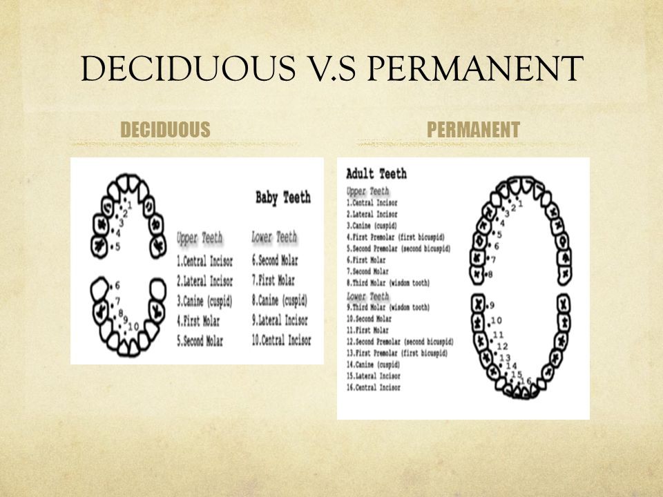 DECIDUOUS V.S PERMANENT DECIDUOUSPERMANENT