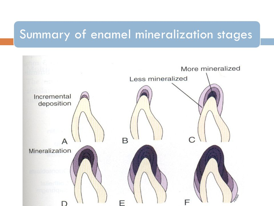 Summary of enamel mineralization stages