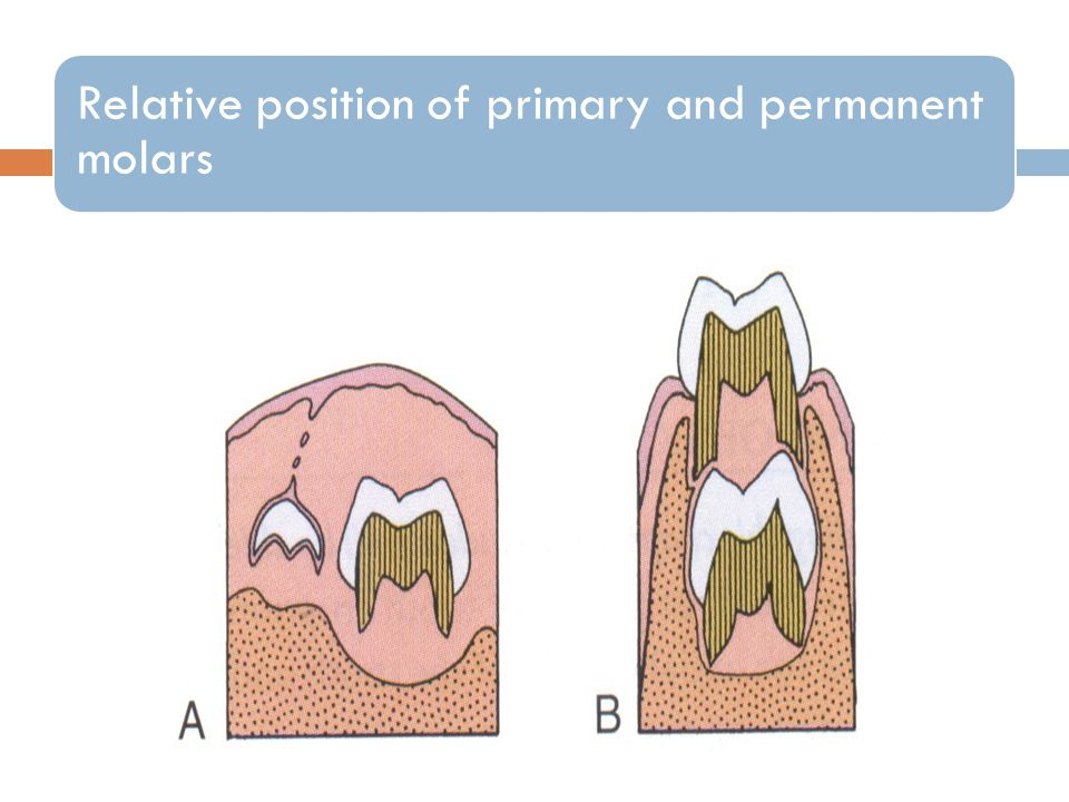 Relative position of primary and permanent molars