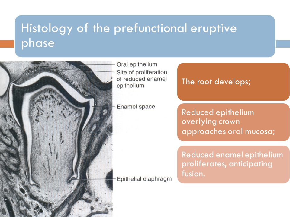 Histology of the prefunctional eruptive phase The root develops; Reduced epithelium overlying crown approaches oral mucosa; Reduced enamel epithelium proliferates, anticipating fusion.