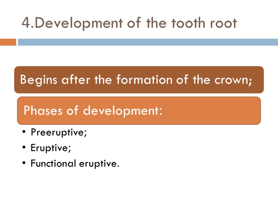4.Development of the tooth root Begins after the formation of the crown;Phases of development: Preeruptive; Eruptive; Functional eruptive.