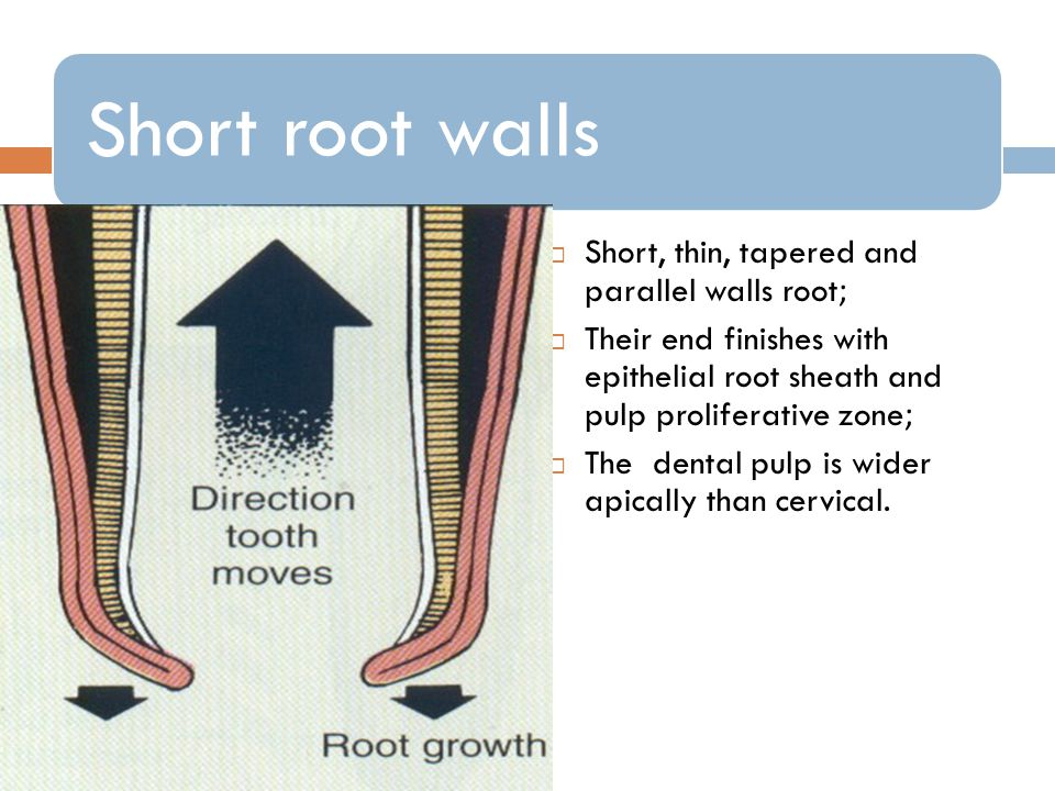 Short root walls Short, thin, tapered and parallel walls root; Their end finishes with epithelial root sheath and pulp proliferative zone; The dental pulp is wider apically than cervical.
