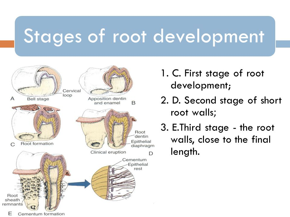 Stages of root development 1.C. First stage of root development; 2.