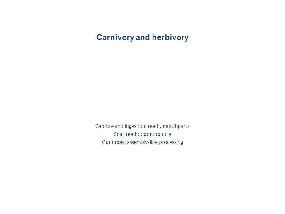 Carnivory and herbivory Capture and ingestion: teeth, mouthparts Snail teeth: odontophore Gut tubes: assembly-line processing