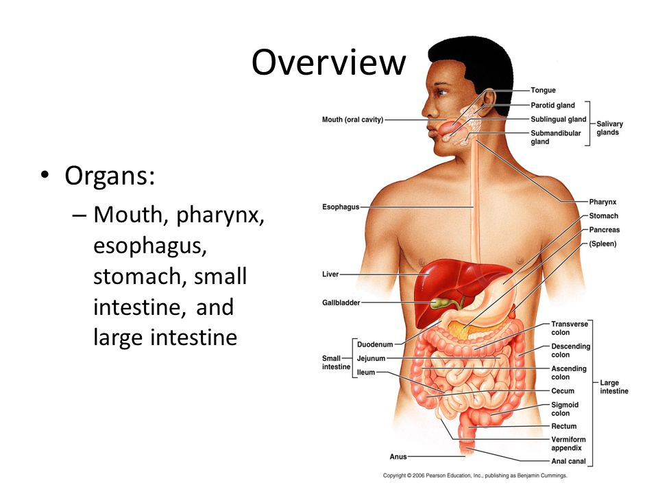 Overview Organs: – Mouth, pharynx, esophagus, stomach, small intestine, and large intestine
