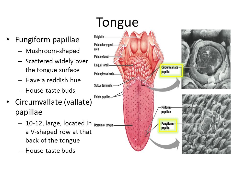 Fungiform papillae – Mushroom-shaped – Scattered widely over the tongue surface – Have a reddish hue – House taste buds Circumvallate (vallate) papill