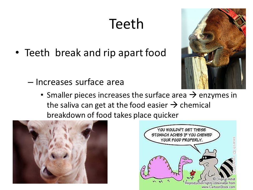 Teeth Teeth break and rip apart food – Increases surface area Smaller pieces increases the surface area enzymes in the saliva can get at the food easi