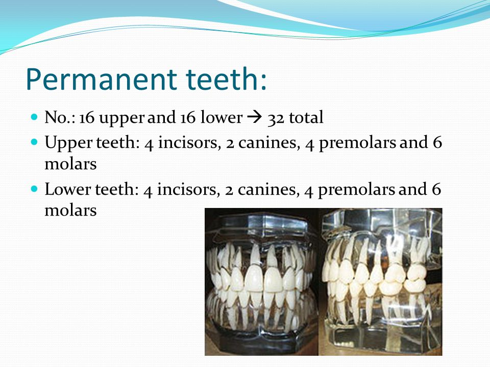 Permanent teeth: No.: 16 upper and 16 lower 32 total Upper teeth: 4 incisors, 2 canines, 4 premolars and 6 molars Lower teeth: 4 incisors, 2 canines, 4 premolars and 6 molars