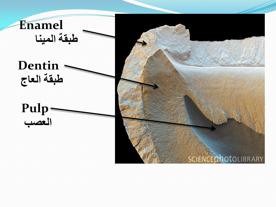 Enamel طبقة المينا Pulp العصب Dentin طبقة العاج