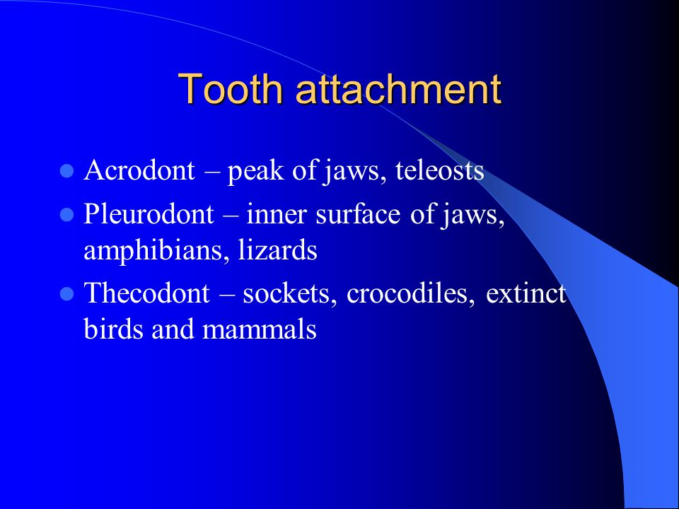 Tooth attachment Acrodont – peak of jaws, teleosts Pleurodont – inner surface of jaws, amphibians, lizards Thecodont – sockets, crocodiles, extinct birds and mammals