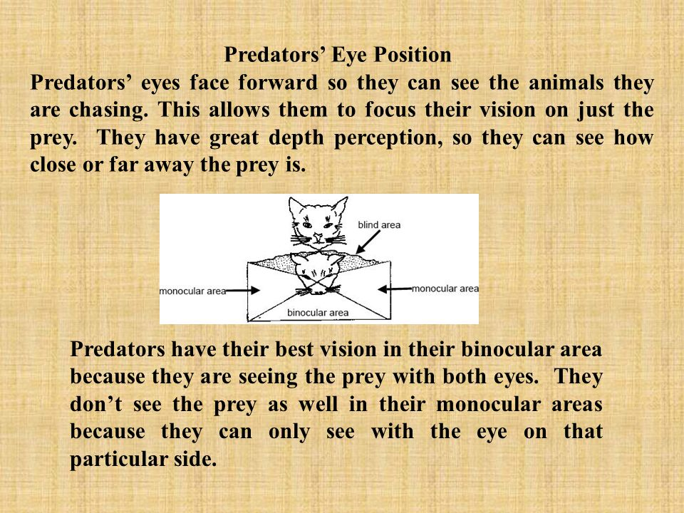 Notice how these predators eyes face forward to give them a clear view of their prey.