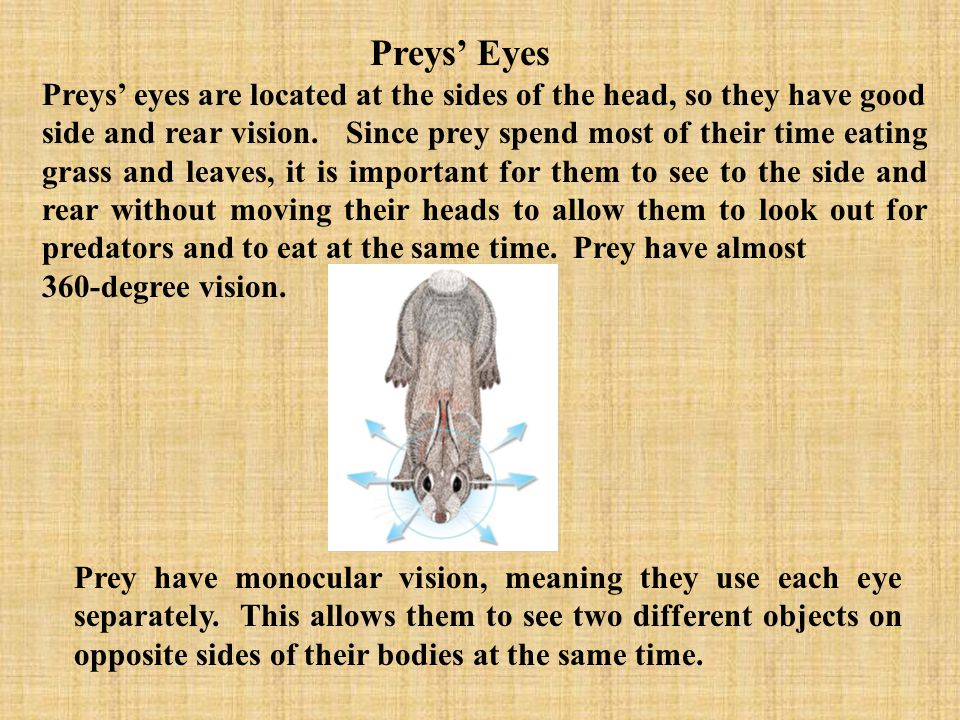 Notice how these preys eyes are located on the sides of their heads, so they can see if predators are approaching them.