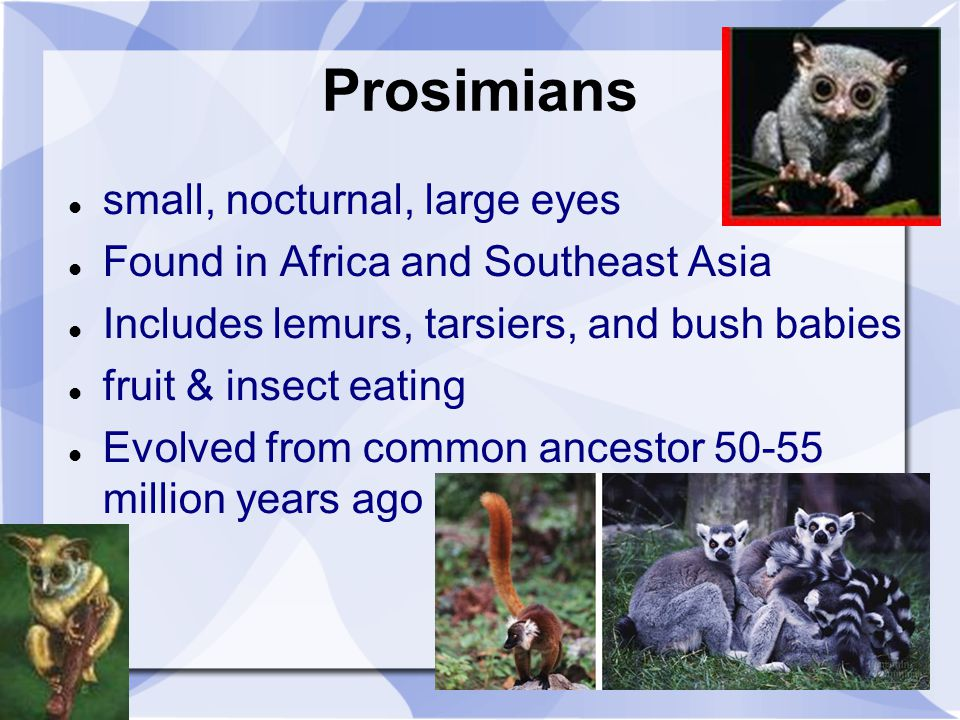 Prosimians small, nocturnal, large eyes Found in Africa and Southeast Asia Includes lemurs, tarsiers, and bush babies fruit & insect eating Evolved fr