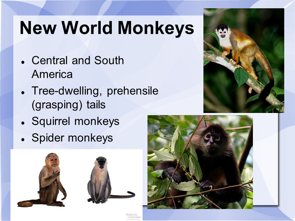New World Monkeys Central and South America Tree-dwelling, prehensile (grasping) tails Squirrel monkeys Spider monkeys