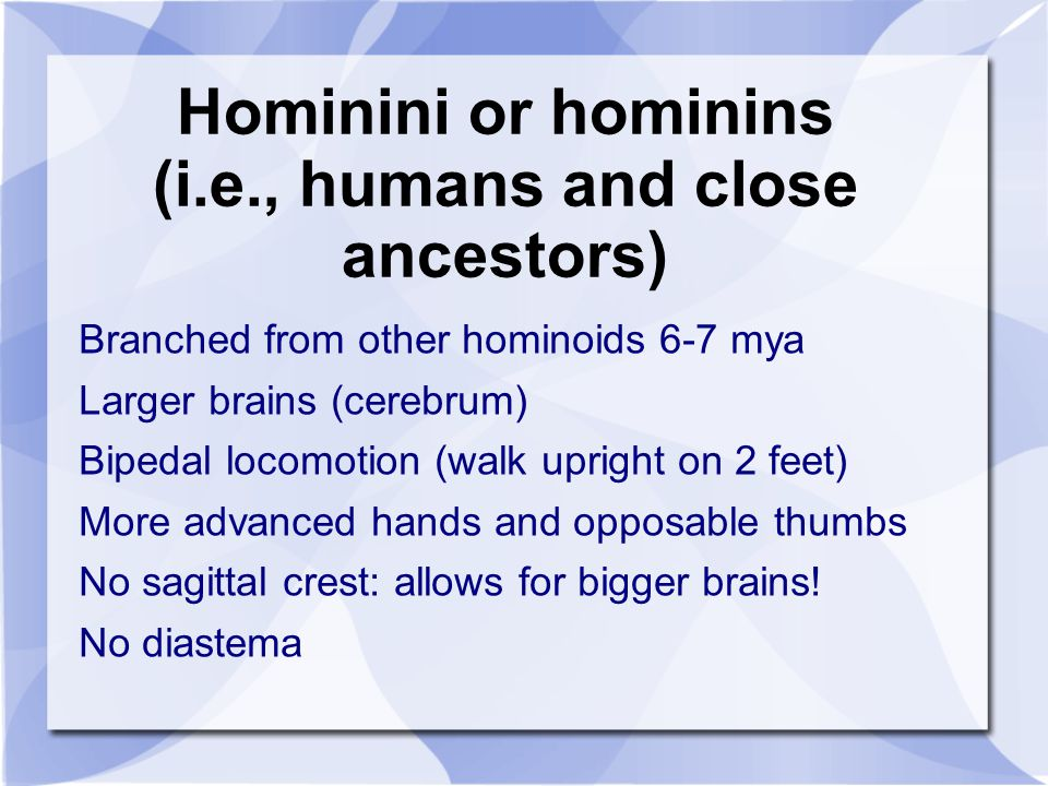 Hominini or hominins (i.e., humans and close ancestors) Branched from other hominoids 6-7 mya Larger brains (cerebrum) Bipedal locomotion (walk uprigh
