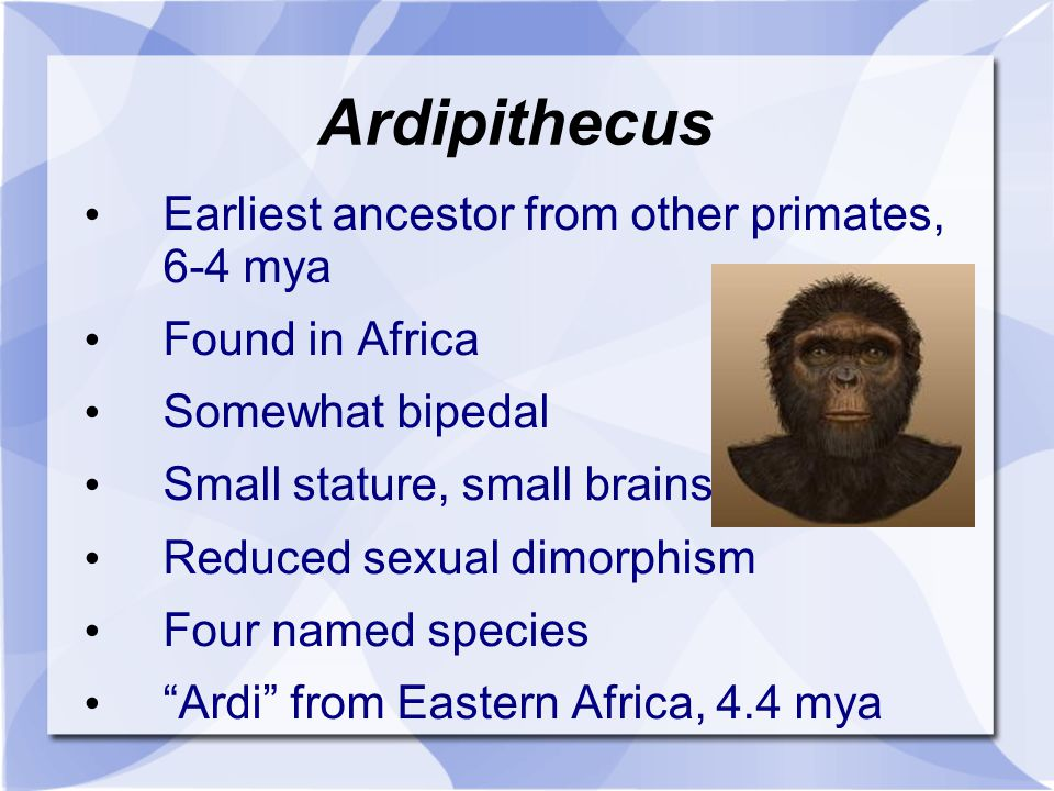 Ardipithecus Earliest ancestor from other primates, 6-4 mya Found in Africa Somewhat bipedal Small stature, small brains Reduced sexual dimorphism Fou