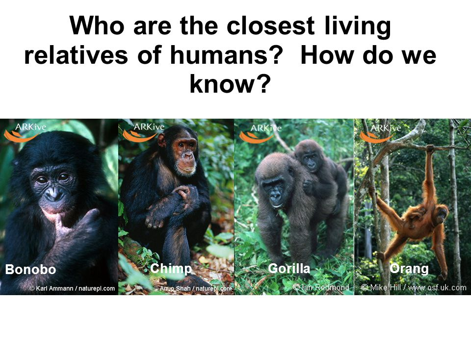 Where are they now? Orangs Gorillas ChimpsBonobos