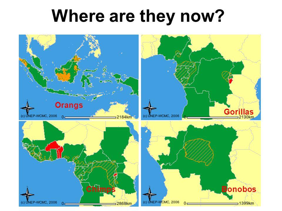 Where are they now? Orangs Gorillas ChimpsBonobos
