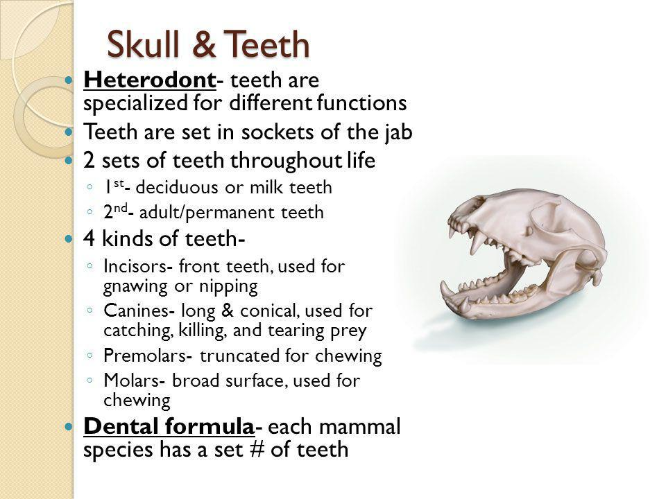 Skull & Teeth Heterodont- teeth are specialized for different functions Teeth are set in sockets of the jab 2 sets of teeth throughout life 1 st - dec