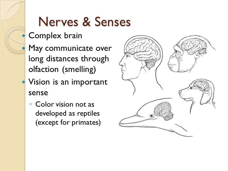 Nerves & Senses Complex brain May communicate over long distances through olfaction (smelling) Vision is an important sense Color vision not as develo