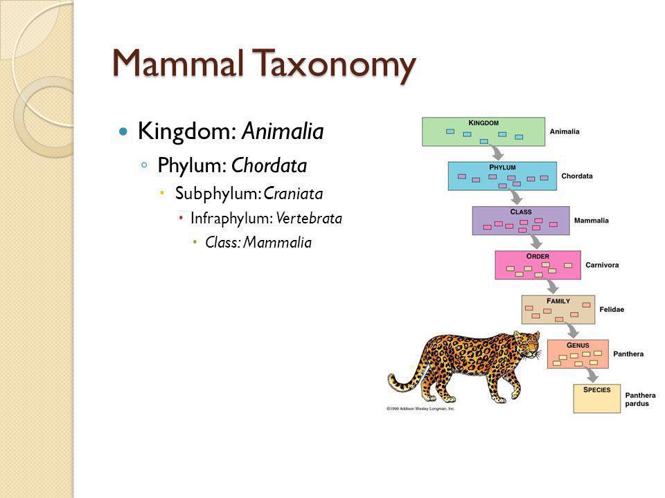 Mammal Taxonomy Kingdom: Animalia Phylum: Chordata Subphylum: Craniata Infraphylum: Vertebrata Class: Mammalia