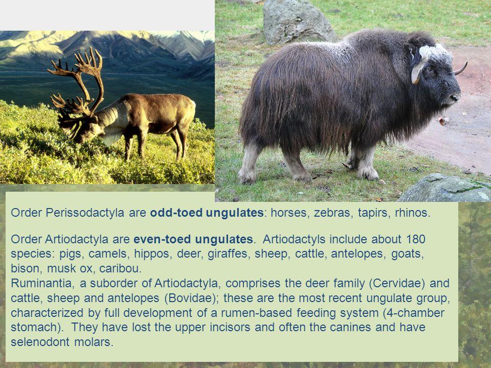 Order Perissodactyla are odd-toed ungulates: horses, zebras, tapirs, rhinos. Order Artiodactyla are even-toed ungulates. Artiodactyls include about 18