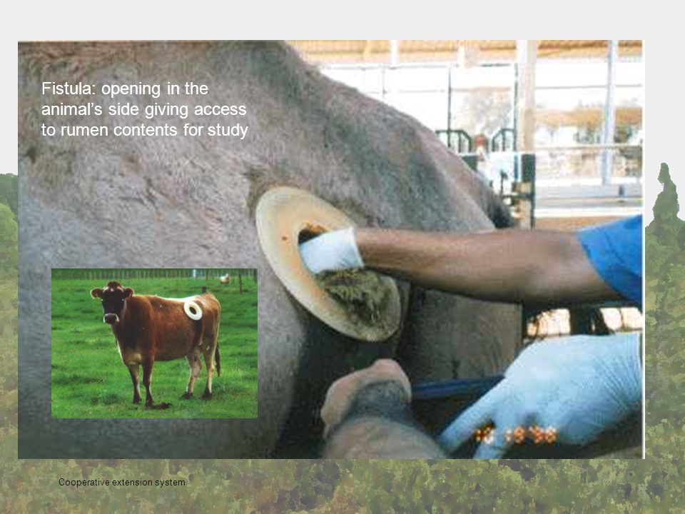 Fistula: opening in the animals side giving access to rumen contents for study Cooperative extension system