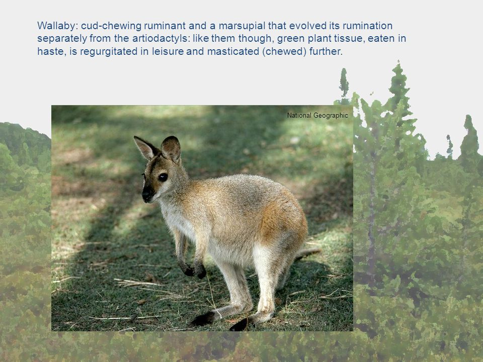 National Geographic Wallaby: cud-chewing ruminant and a marsupial that evolved its rumination separately from the artiodactyls: like them though, gree