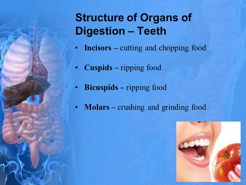 Structure of Organs of Digestion – Teeth Incisors – cutting and chopping food Cuspids – ripping food Bicuspids – ripping food Molars – crushing and gr