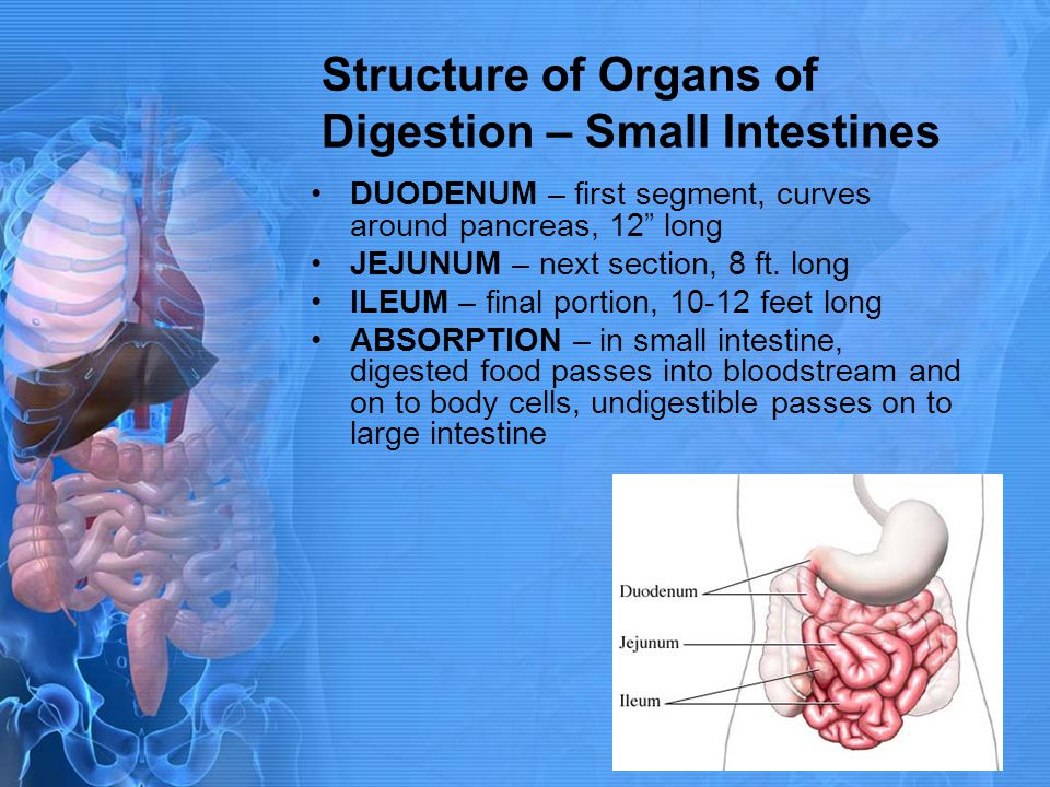 Structure of Organs of Digestion – Small Intestines DUODENUM – first segment, curves around pancreas, 12 long JEJUNUM – next section, 8 ft. long ILEUM