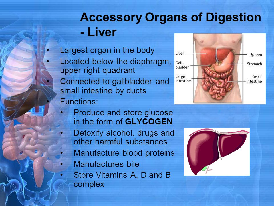 Accessory Organs of Digestion - Liver Largest organ in the body Located below the diaphragm, upper right quadrant Connected to gallbladder and small i