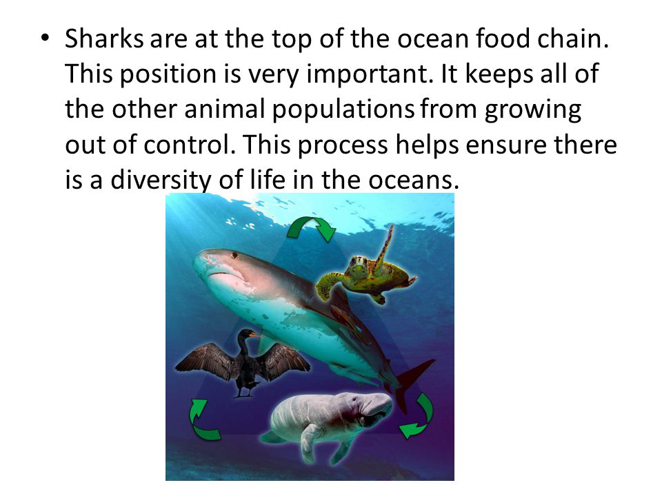 Sharks are at the top of the ocean food chain.This position is very important.