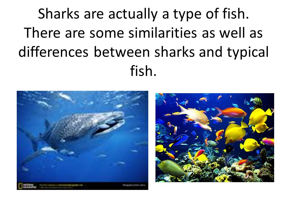 Sharks are actually a type of fish.