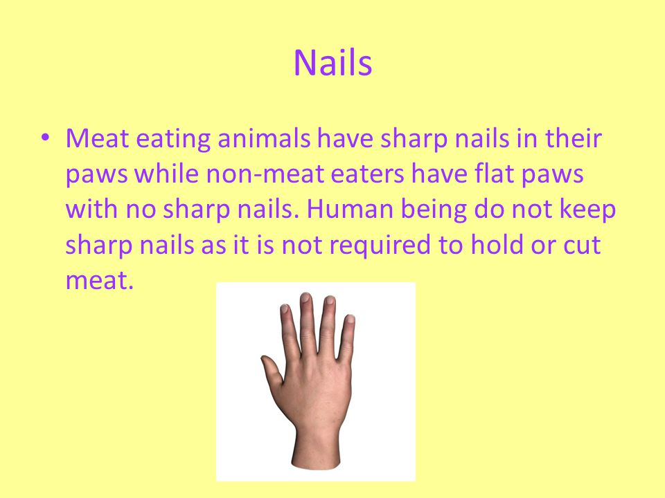 Nails Meat eating animals have sharp nails in their paws while non-meat eaters have flat paws with no sharp nails. Human being do not keep sharp nails